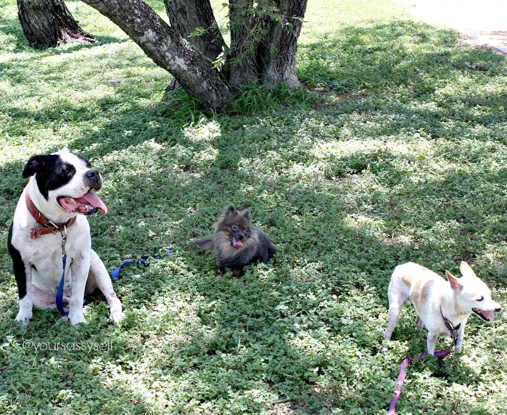 three dogs enjoying the shade - yoursassyself.com