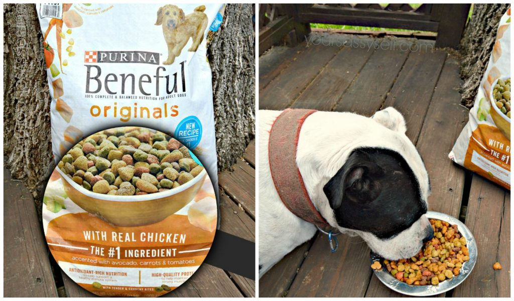 dog-eating-beneful-originals-with-real-chicken-yoursassyself-com