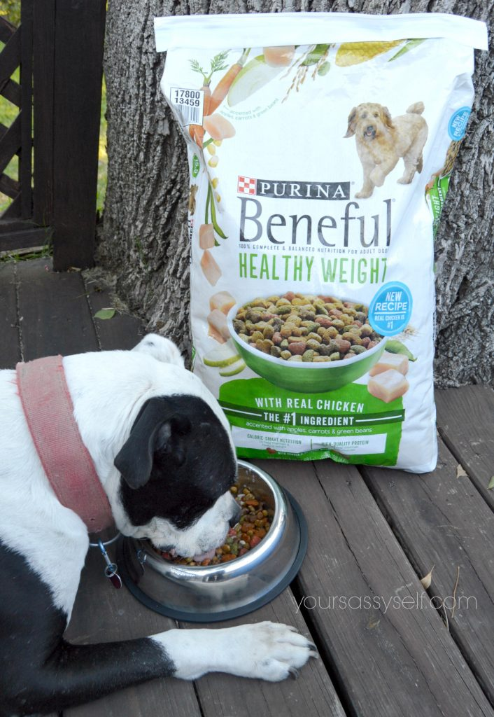 dog-eating-beneful-healthy-weight-yoursassyself-com