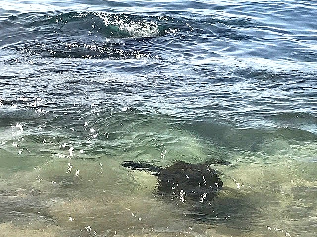 Turtle at Laniakea Beach - yoursassyself.com