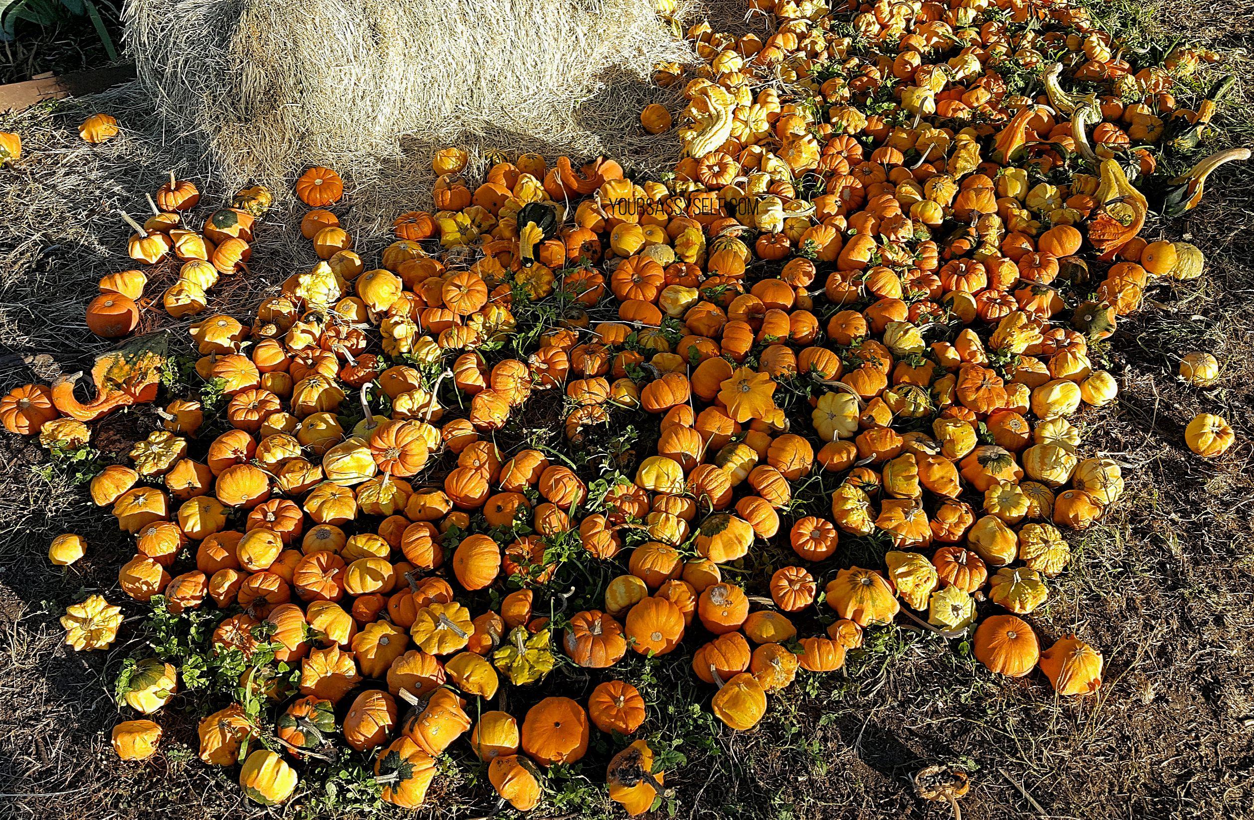 Pumpkin Patch - yoursassyselfcom