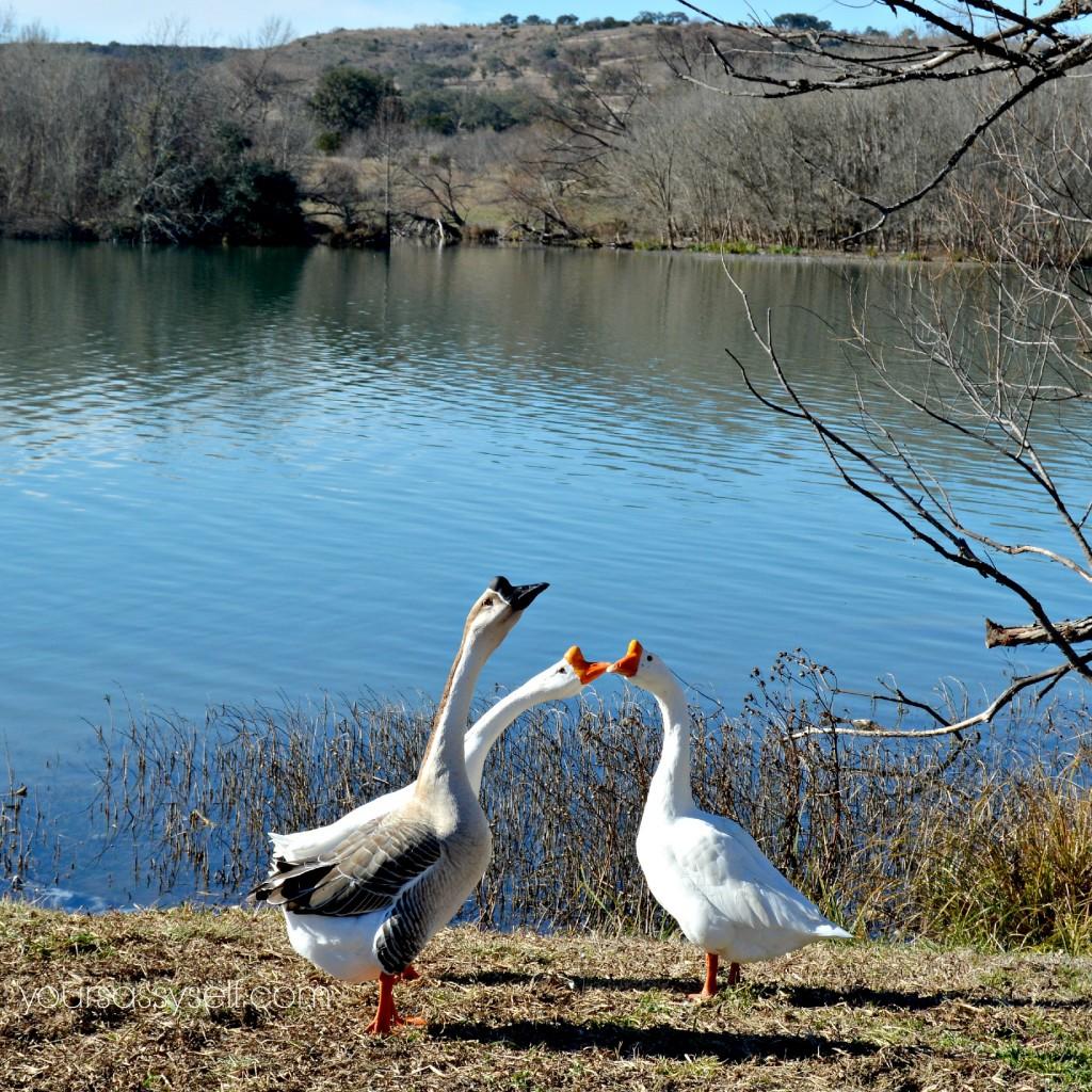 Geese -yoursassyself.com