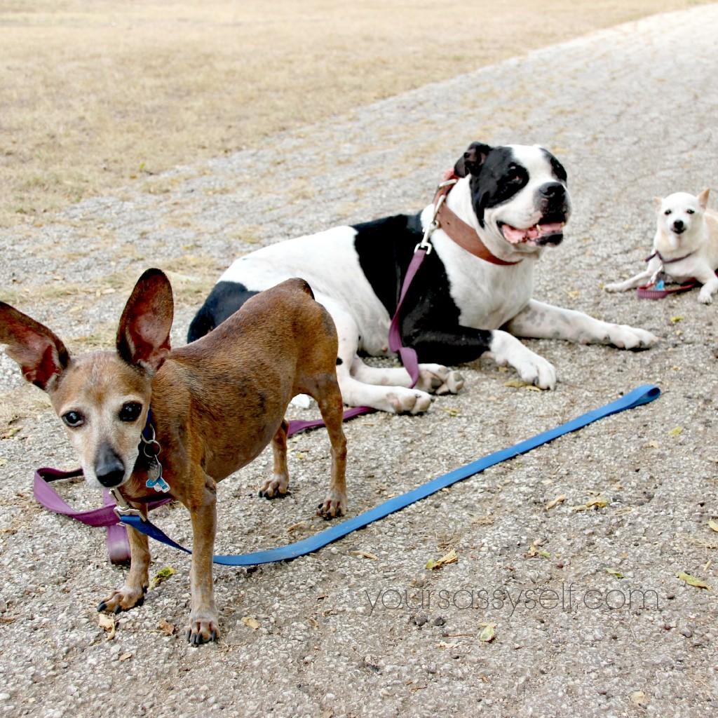 My 3 dogs - yoursassyself.com