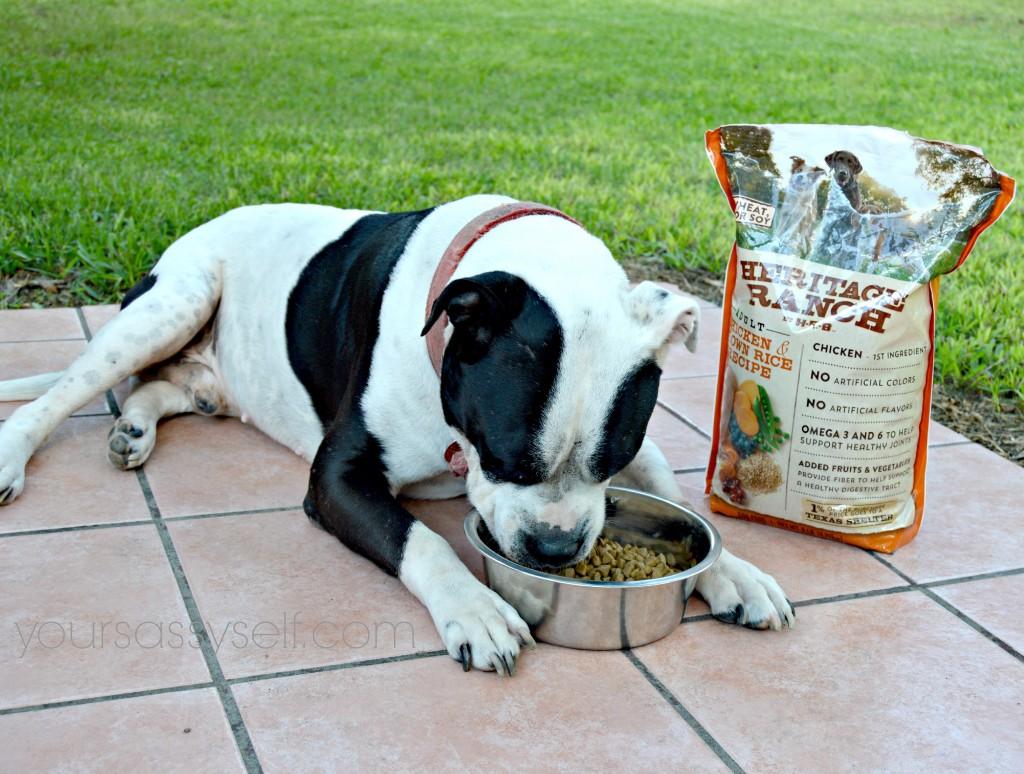 Dog Eating Heritage Ranch - Adult Chicken & Brown Rice - yoursassyself.com