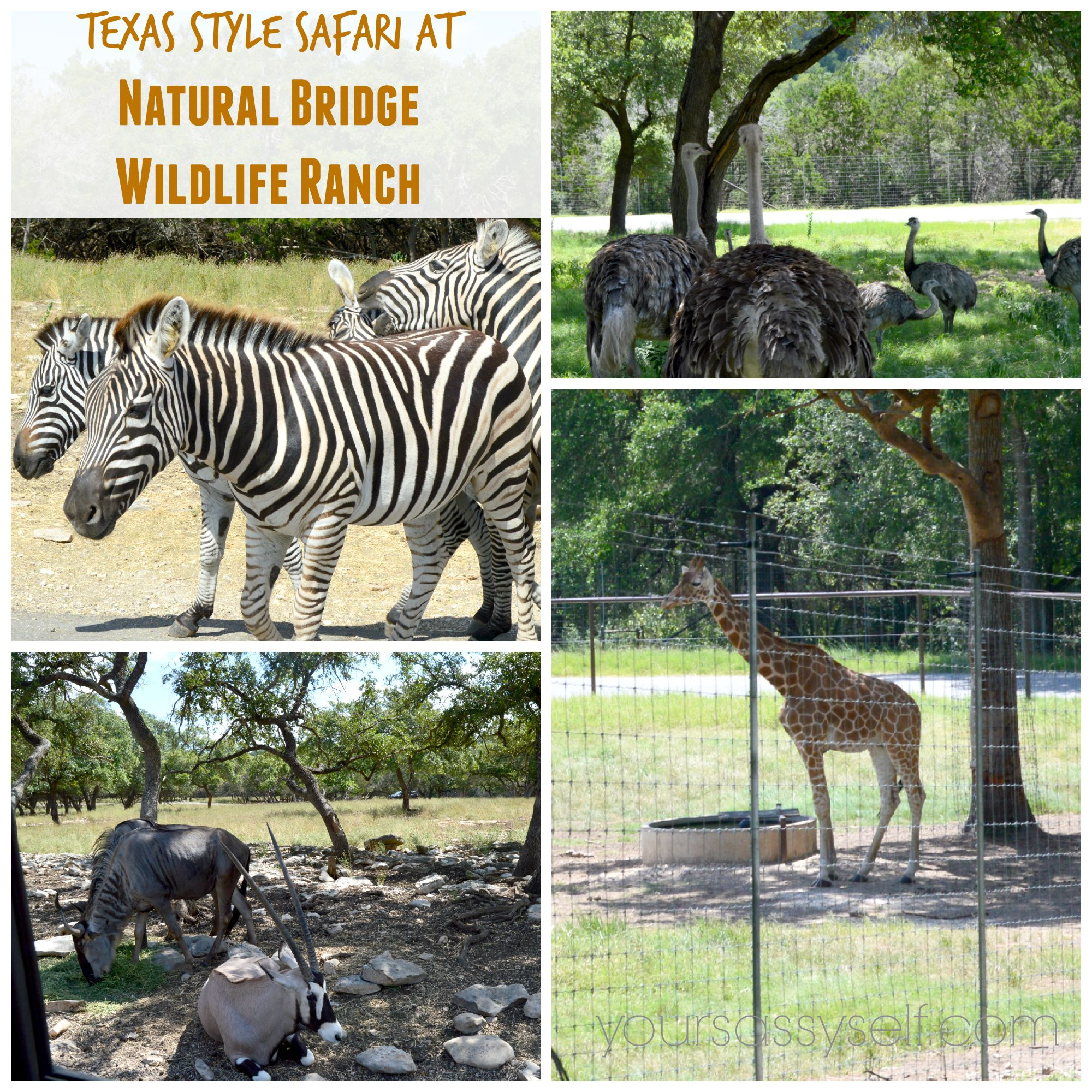 The central Texas Climate is well suited to animal survival as several of the ranchs animals have been returned to their native lands. Although our animals are wild, most are so gentle they may be hand fed from the safety of your car.
