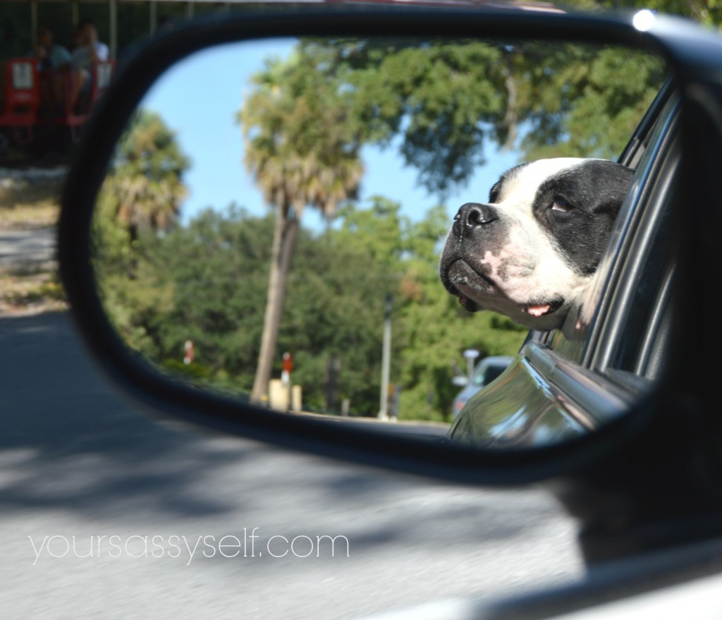 Dog in Side Mirror - yoursassyself.com