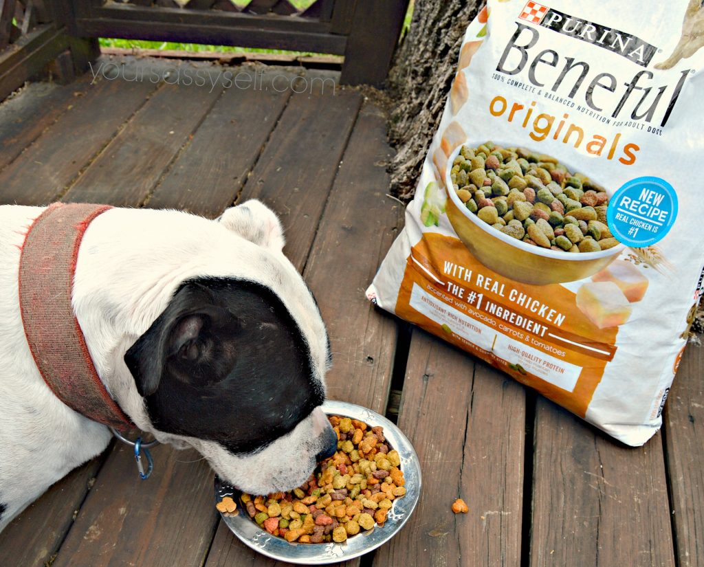 Dog eating Purina Beneful Originals - yoursassyself.com