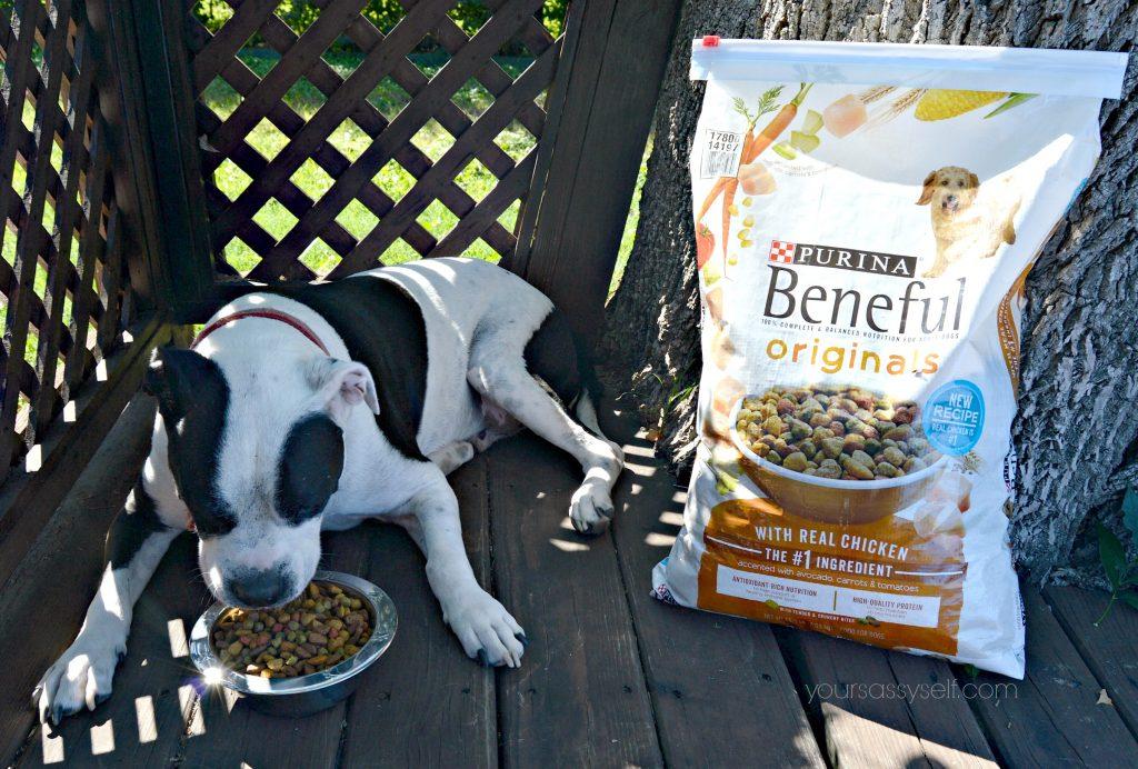 dog-eating-beneful-originals-with-real-chicken-yoursassyself-com