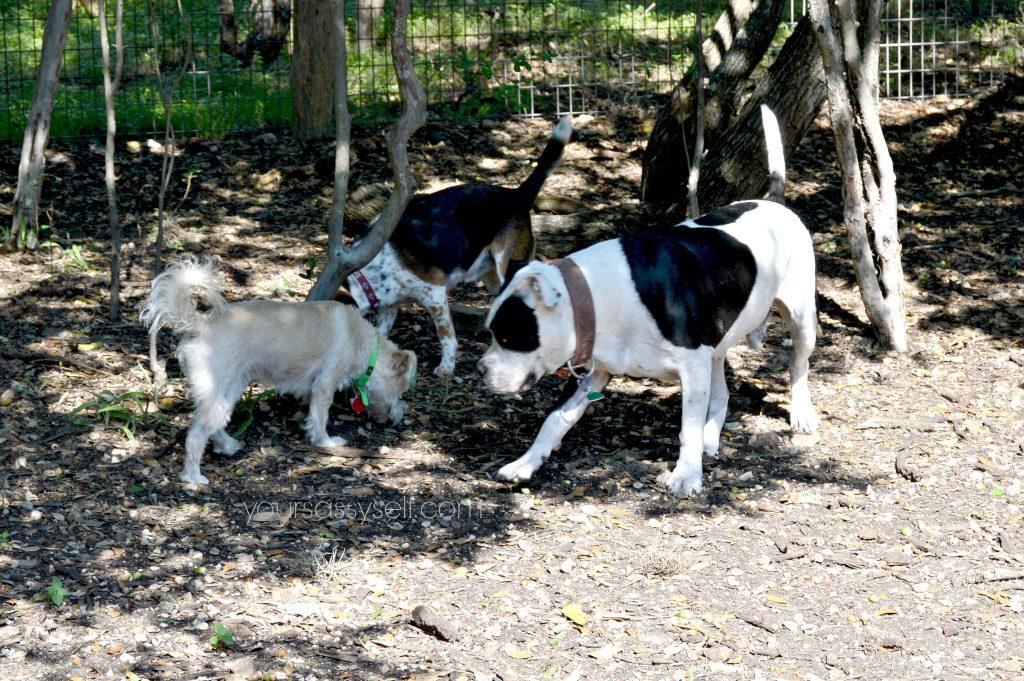 dogs-at-dog-park-yoursassyself-com