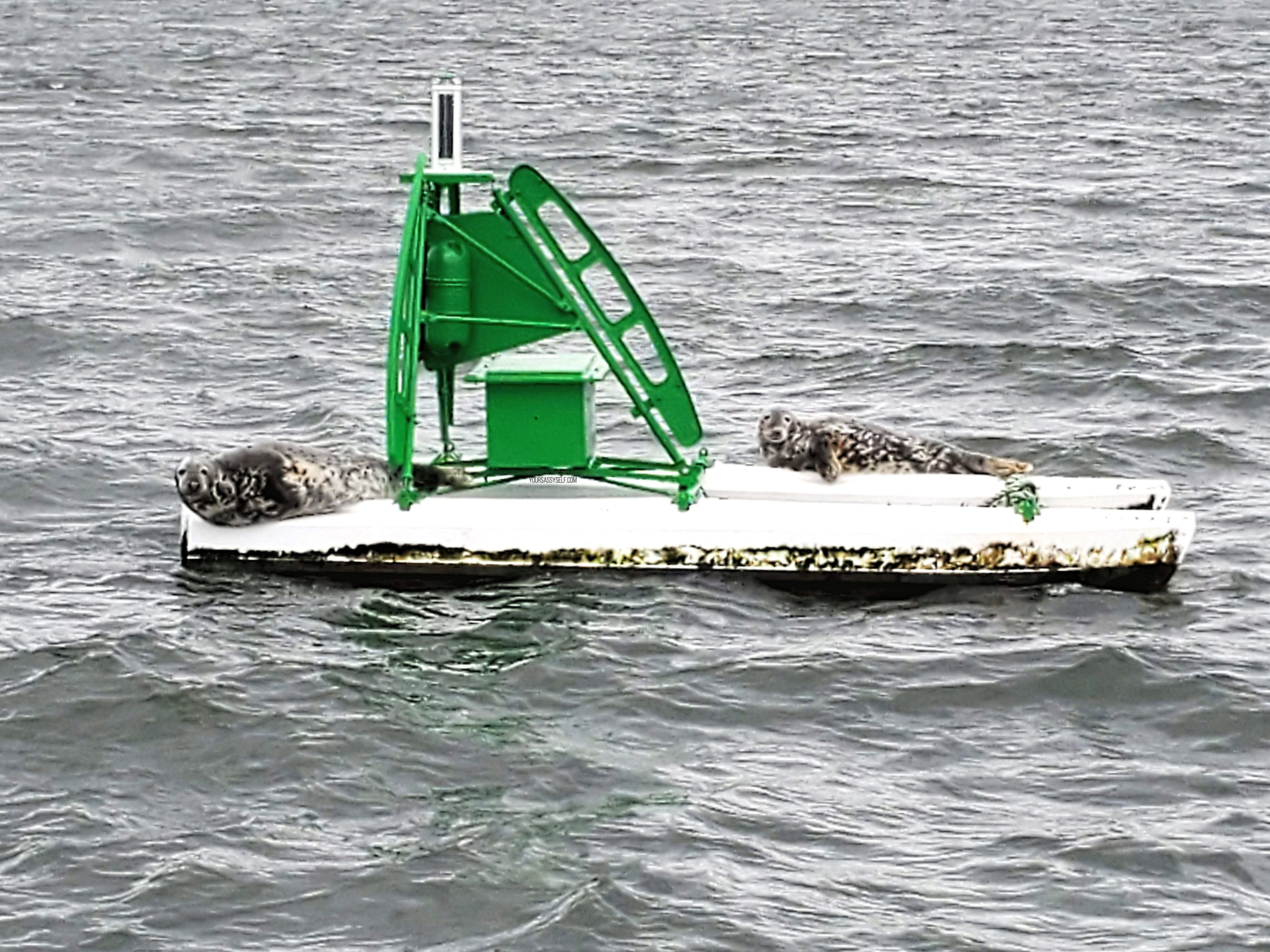 Seals Sunning on Buoy - yoursassyself.com
